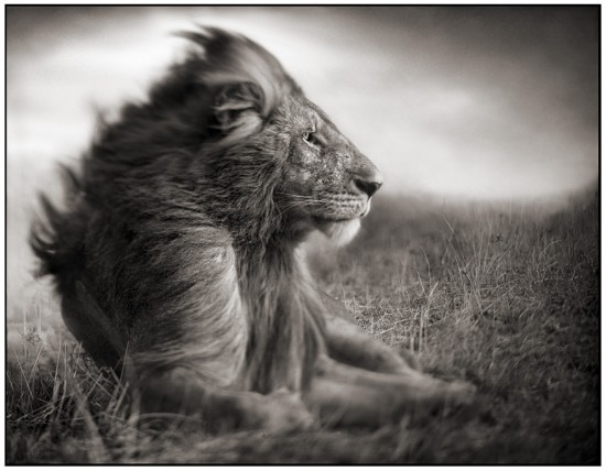Lion facing the storm